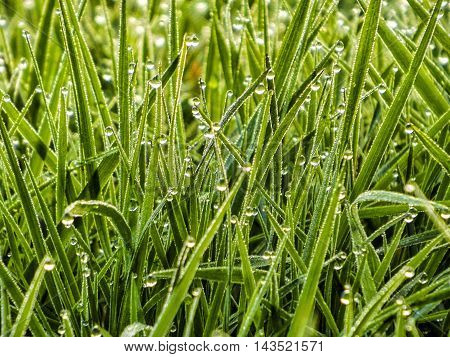 Early summer . Morning dew on young stems of grass.