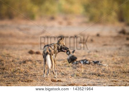 Two African Wild Dogs In The Kruger.