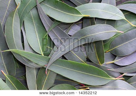 Goma de mascar hojas forman un fondo natural completas.  Los sutiles tonos verdes gris del Bush australiano