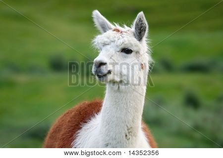 Portrait of a handsome alpaca, with green fields behind.