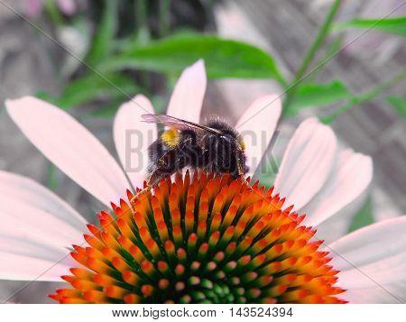 Bombus terrestris on the flower collects pollen