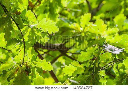 background of green oak leaves in sunlight.
