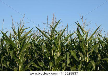 field corn stalks in full tassel against a blue sky.