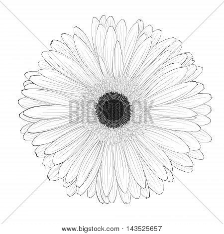 beautiful monochrome black and white gerbera flower isolated. Hand-drawn contour lines and strokes.