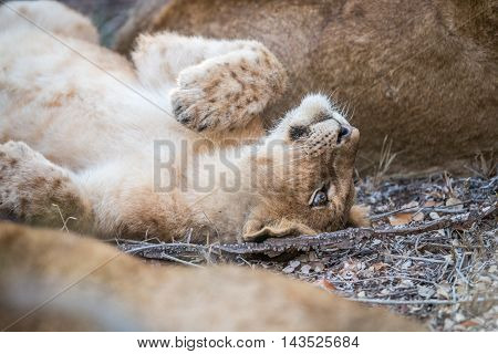 A Young Lion Cub Laying In The Kruger.