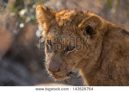 Lion Cub Looking Down In The Kruger.