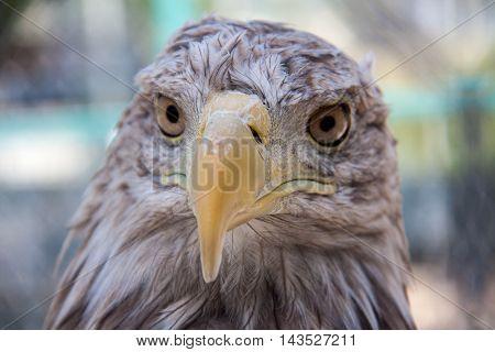 Eagle head close up macro outdoors day.