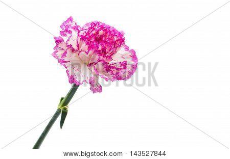 carnation elegance flower on a white background