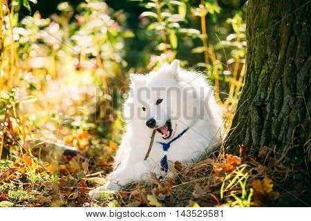 Funny Happy White Samoyed Dog Outdoor in Autumn Forest, Park. Puppy Sitting In Grass and Chewing Wooden Stick