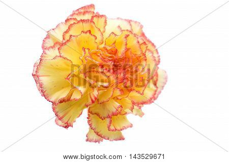 carnation  yellow flower flower on a white background
