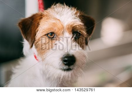 Close Up White And Red Young Rough Coated Jack Russell Terrier Dog. Small Terrier