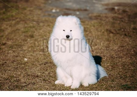 Young White Samoyed Dog Outdoor in Park.