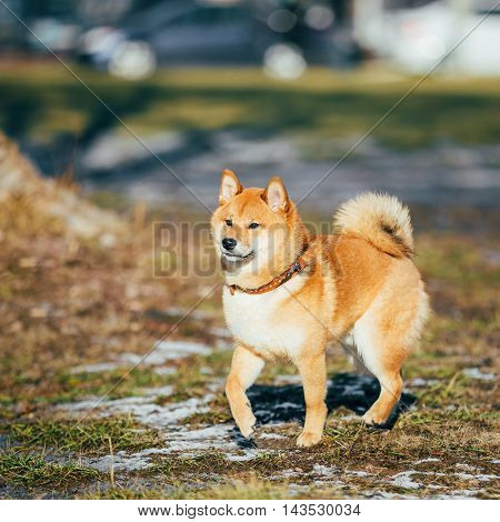 Beautiful Young Red Shiba Inu Puppy Dog Staying Outdoor In Spring