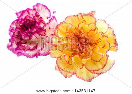 carnation multi colored on a white background