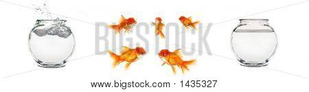 Isolated Goldfish And Bowls
