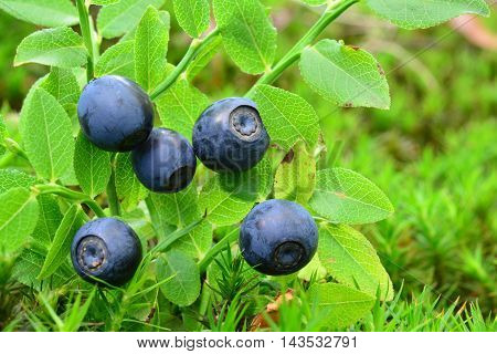 Ripe fresh wild blueberries in natural habitat side view close up