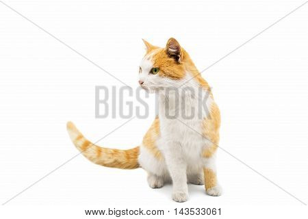 looking  red cat on a white background