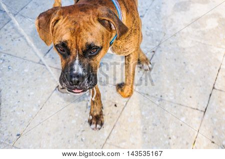 Boxer dog drools droplets of water from mouth after drinking water