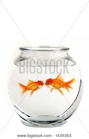 Two Kissing Goldfish