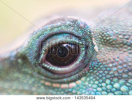 water dragon iguana reptile eye close up macro