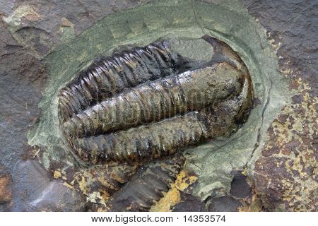 Trilobite fossil, in macro view.