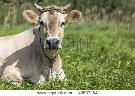 Brown cow rests in the green field.
