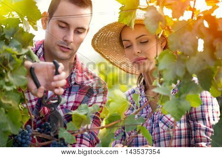 Attractive couple picking grapes in vineyard