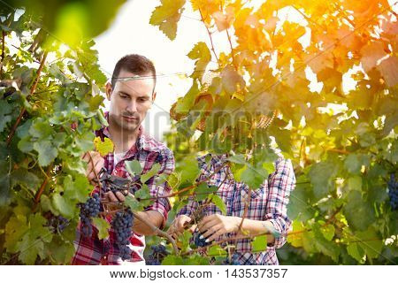 Couple working in in vineyard, grapes harvest