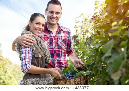 Couple farmers in vineyard, cheerful  young people harvesting grapes