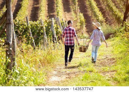 couple walking through the vineyard and between themselves holding a wicker basket with grapes, back view