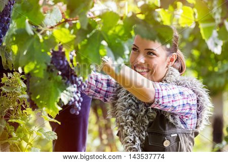 young woman cutting a bunch of grapes