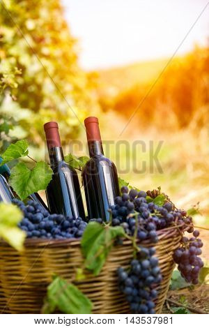 wicker basket with grapes and wine bottles in vineyard