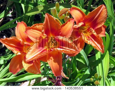 Lilies in Humber Bay Park on bank of the Lake Ontario in Toronto Canada July 4 2016