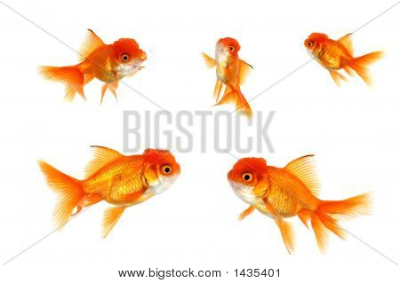 Multiple Orange Goldfish