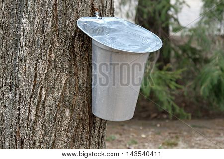 Buckets for collecting maple sap in early spring