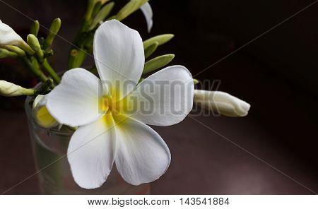 Plumeria Or Frangipani Flower In Glass In Dim Light Room