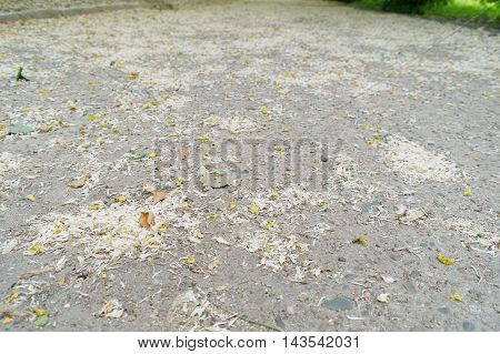scattered acacia petals on the concrete road