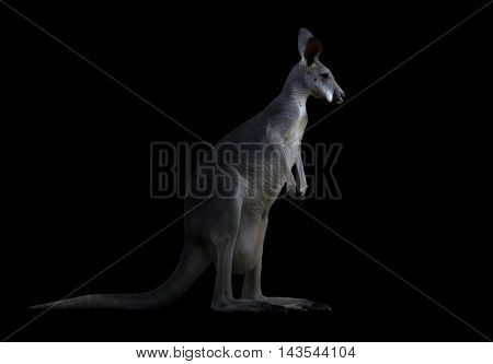 Kangaroo In The Dark