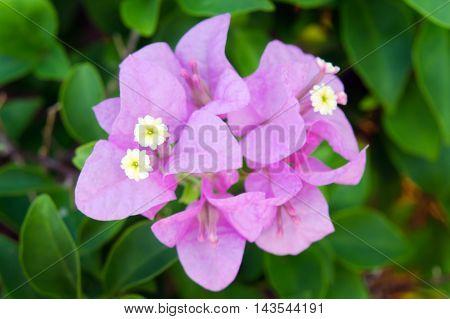 Bougainvilea Hybrida Flowers In Thailand