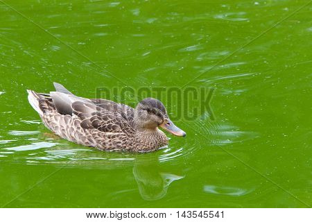 Female mallard duck swimming in murky green calm water reflection in the water