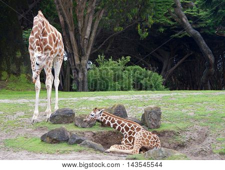 mother giraffe bending down to look at baby laying on the ground encouraging youngster to get up green grass rocks around trees in background. landscape horazonal view