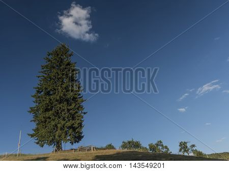 Summer day with spruce tree and blue sky