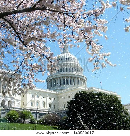 The rain of Cherry Blossoms near Capitol in Washington DC USA