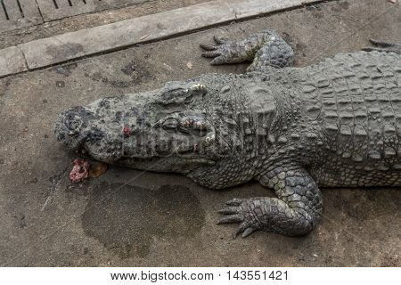 Alligator or Crocodile  in cage at the Zoo.