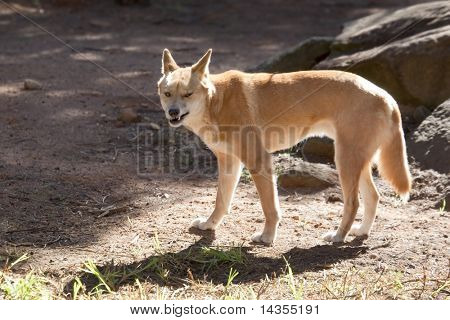 A dingo snarling at the camera.  Australian wild dog.