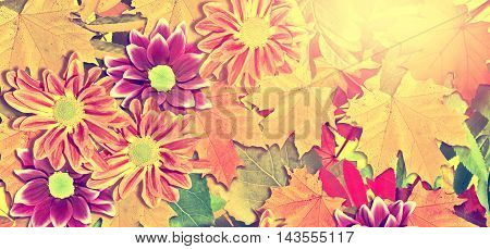 abstract background of autumn foliage . flowers chrysanthemum