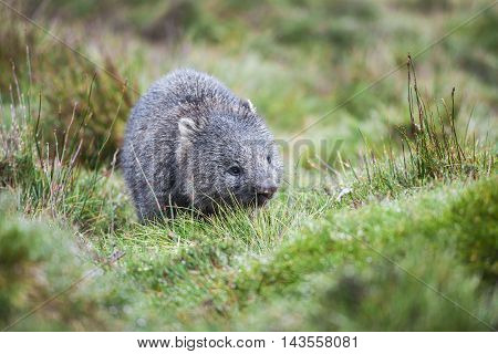 Wombat found during the day in Cradle Mountain, Tasmania