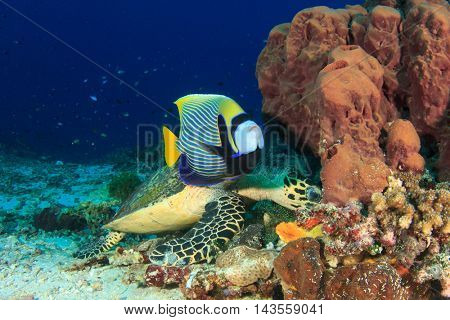 Emperor Angelfish and Sea Turtle