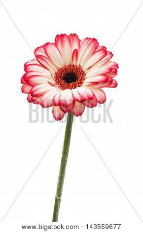 gerbera multi colored on a white background