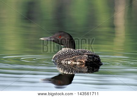 Common Loon swimming in lake, reflection in water